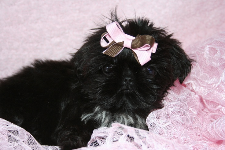 daisy patch shih tzu 17 best images about dog ideas on pinterest vegan dog 2573