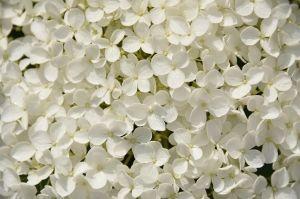 Foto Bunga Hortensia Putih