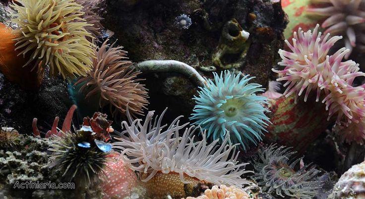 Sea Anemones Actiniaria Com Cold Saltwater Aquarium