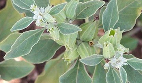 a history of saliva divinorm and its use by maztec indians Salvia divinorum is an herb of mint family and is known for its good and bad effects on human body salvia extracts are being in use only for past 10 years so it is still considered very new to salvia 's history.