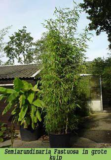 Bamboe planten als kuipplant voor op het terras of balkon - geschikte niet woekerende soorten bamboe voor in kuipen