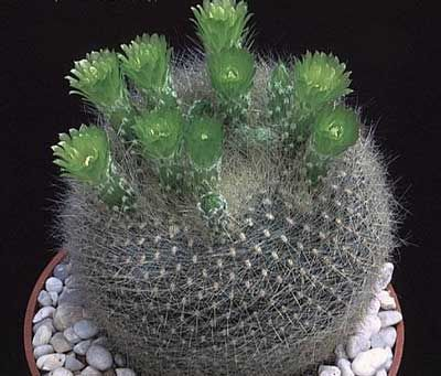 646 best images about variedades de cactus on pinterest for Cactus variedades