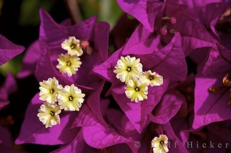 bougainvillea: love this color