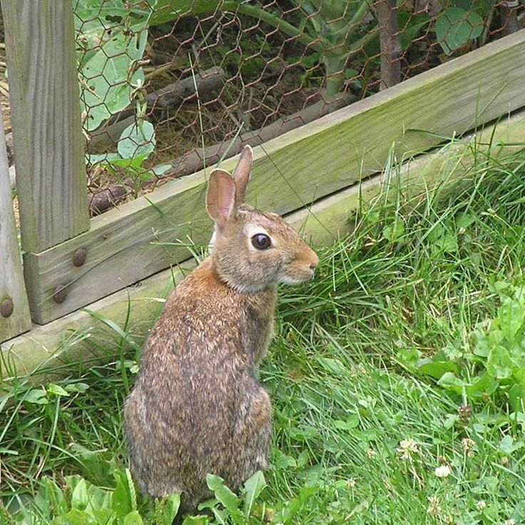To Keep Rabbits Out Of Your Garden Make A Fence Using Chicken Wire.