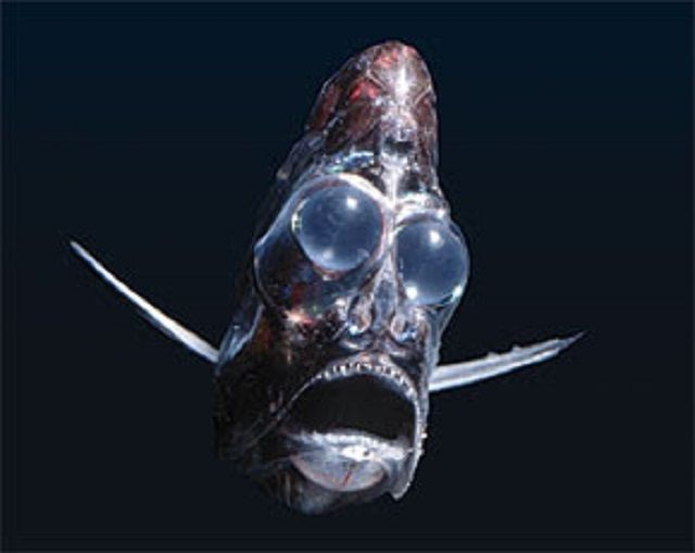Hatchetfish ~ Alien Creature of the Mariana Trench | Igor ...