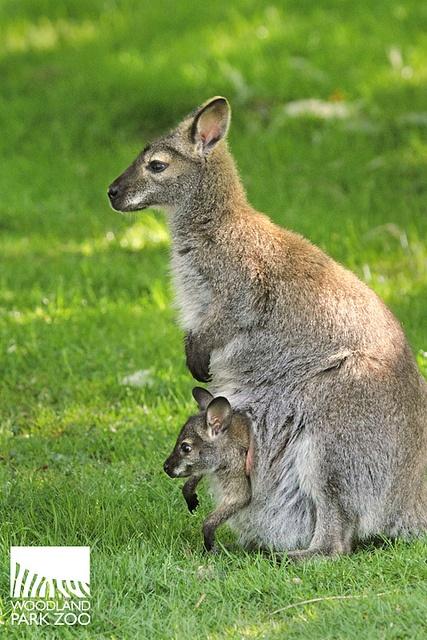 #Baby joey and mama Wallaby at Woodland Park #Zoo. #cute