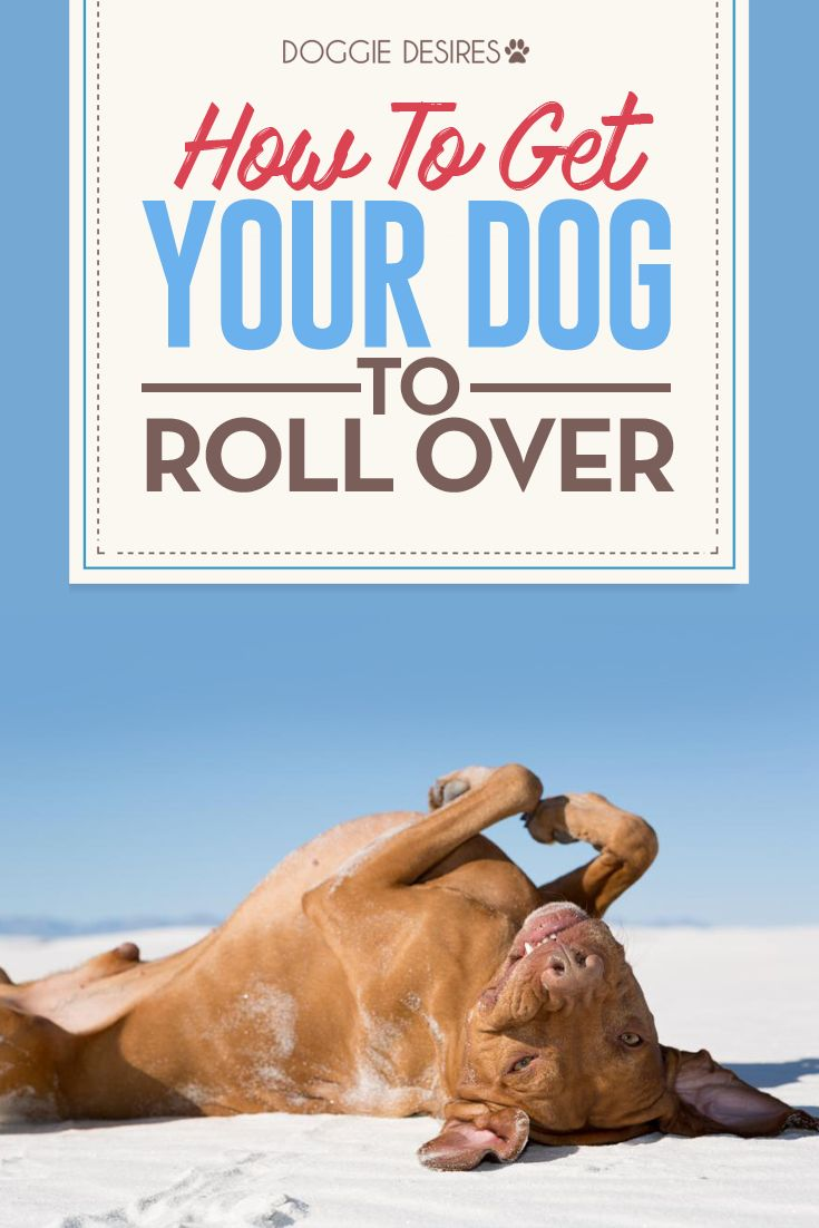 How to get your dog to roll over >> http://doggiedesires.com/how-to-get-your-dog-to-roll-over/