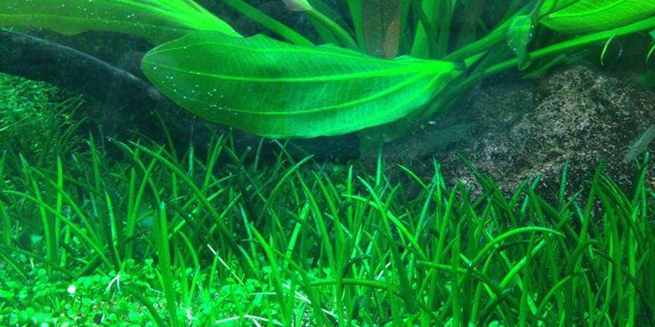 Littorella uniflora - short grass