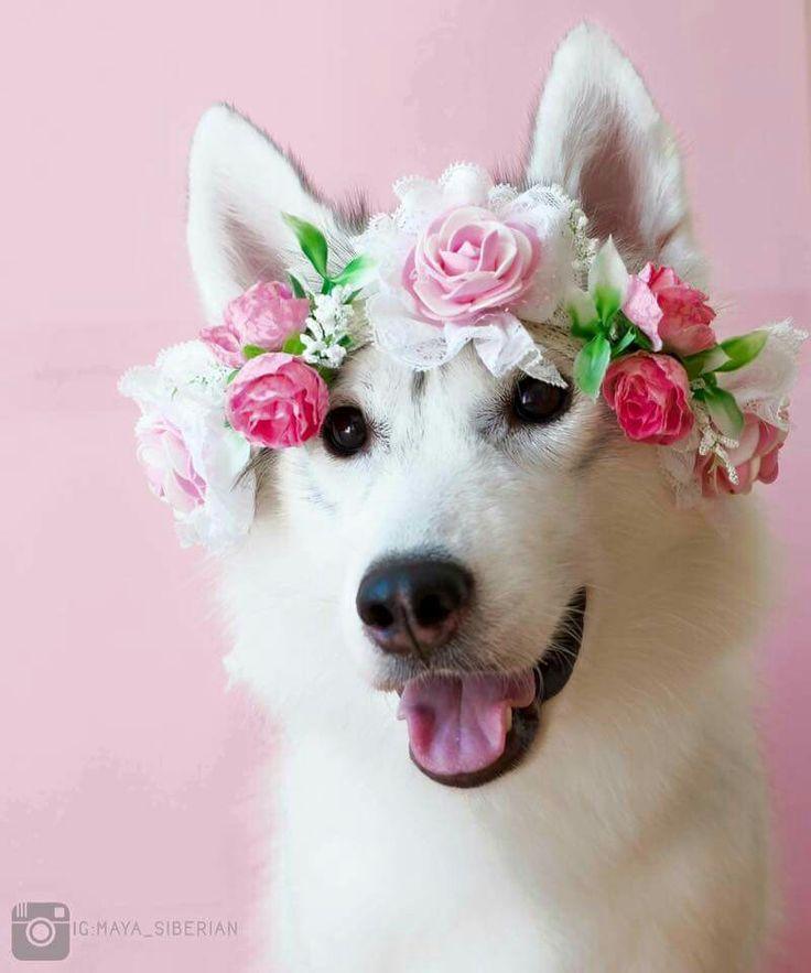 Husky Flower Girl