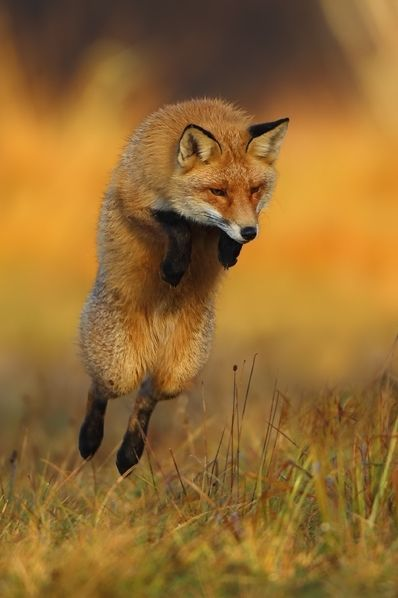 Red Fox by Marcin Nawrocki on 500px #coupon code nicesup123 gets 25% off at Provestra.com Skinception.com