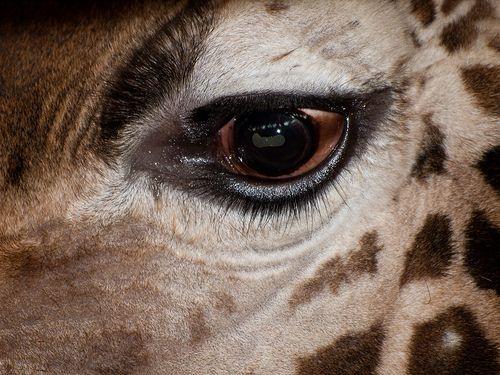 giraffe eye hd - Google Search