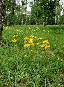 Arnica montana, known commonly as leopard's bane, wolf's bane, mountain tobacco and mountain arnica,[1] is a European flowering plant with large yellow capitula.    Arnica has been used in herbal medicine.[2]
