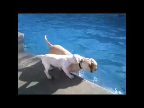 Mother dog teaches her puppy how to have fun swimming (VIDEO) » DogHeirs | Where Dogs Are Family « Keywords: Labrador Retriever, swimming pool, lessons, teach