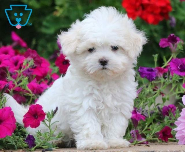 Puppy Finder Find Buy A Dog Today By Using Our Petfinder Newpuppy Puppy Finder Find Buy A Maltese Puppies For Sale Maltese Puppy Teacup Puppies Maltese