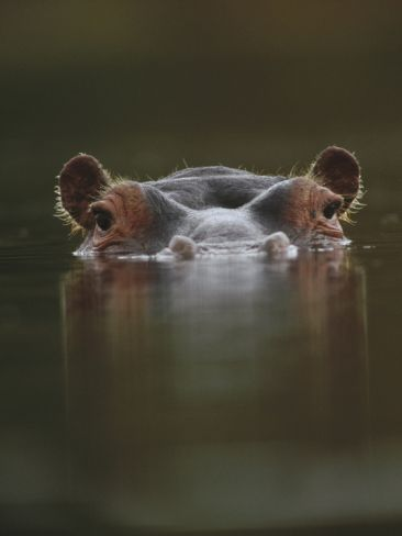 Hippopotamus (Hippopotamus Amphibius) at Water Surface, Tanzania; photo by .Tim Fitzharris/Minden Pictures