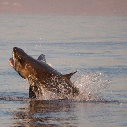 A great white shark jumping out of the water in South Africa