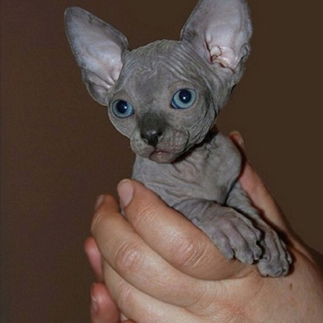 A sphynx, or hairless cat! They're so adorable!