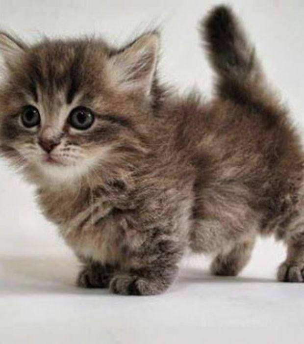 GATTI: Il Munchkin - Questa razza felina è originaria degli Stati Uniti