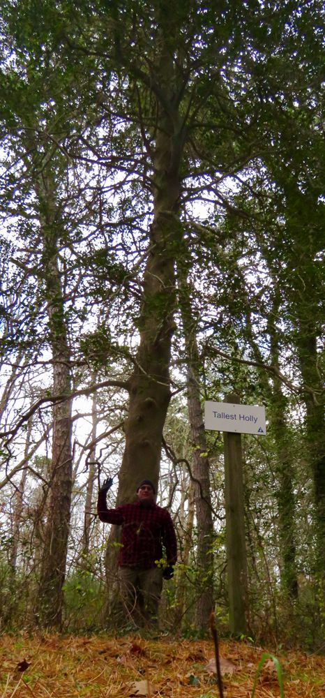 The tallest holly tree photos and video - Cape Cod Online Ashumet Wildlife Sanctuary~Ashumet Holly in East Falmouth!!