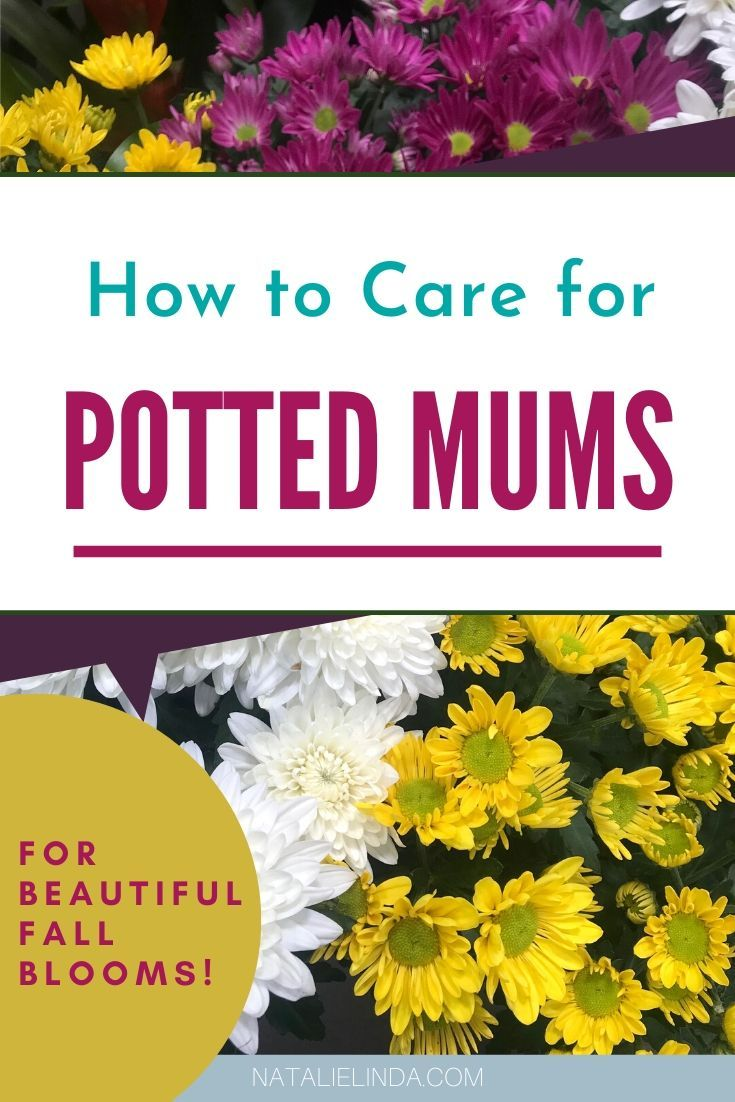 Chrysanthemum Care Plus Plant Decor Tips Natalie Linda Potted Mums Flower Garden Care Caring For Mums
