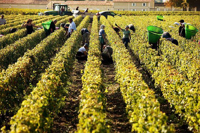 Harvest time in Bordeaux via @bordeauxwines
