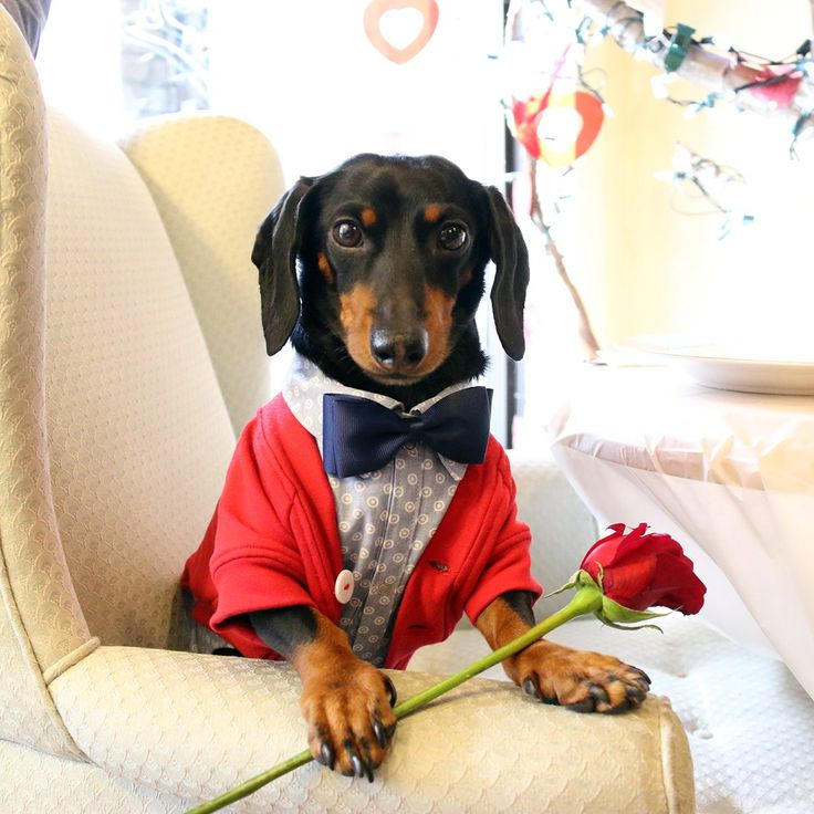 Crusoe The Celebrity Dachshund Presents His Version Of ...