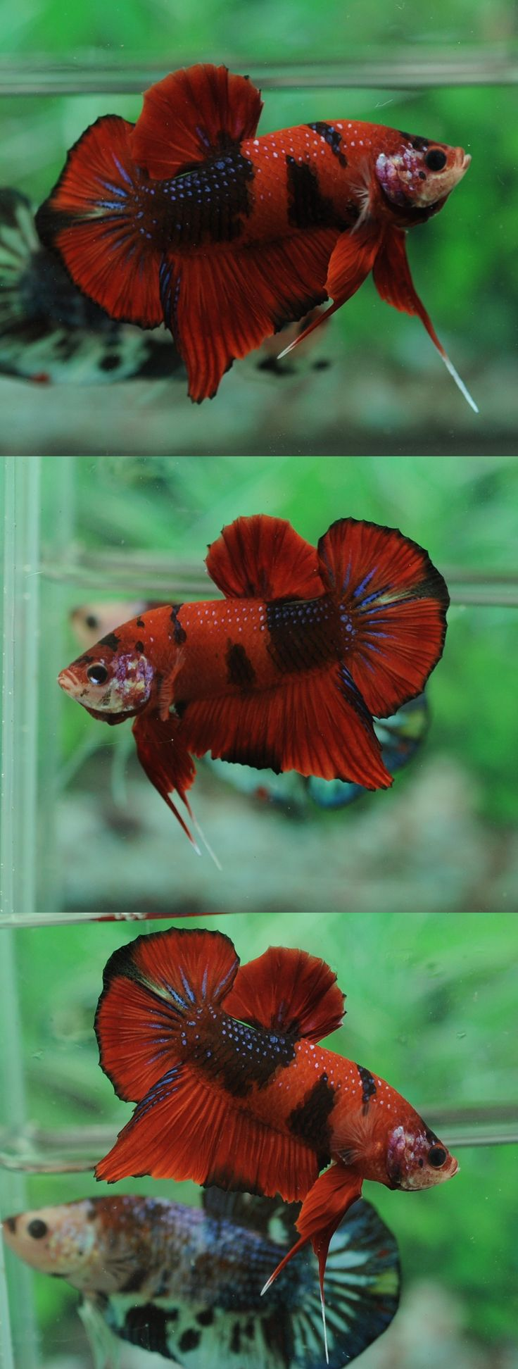 447 best Bettas ARE Splendid! images on Pinterest | Fish aquariums ...