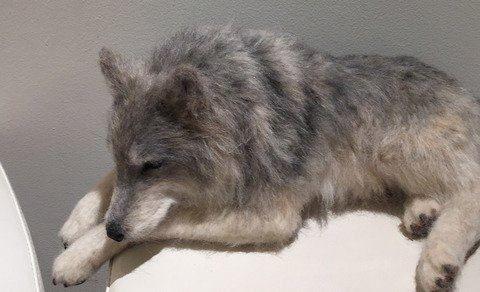 TrueStyleLabさんの灰色オオカミ。羊毛フェルト製 20160906FB 我妻律子