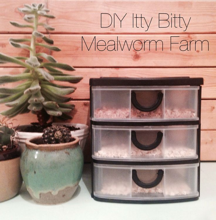 Since I have to buy mealworm every week at the pet store for the quails, I decided to try raising my own... on a itty bitty scale. I bought a mini 3 compartment drawer organizer at the dollar store for 3$, filled the drawers with some oatmeal i had on hand, put a mini wet sponge on a plastic cover for hydration and added 4$ of mealworms (around 200 mealworms). So there is it! My itty bitty mealworm farm for 8$ (mealworm included)