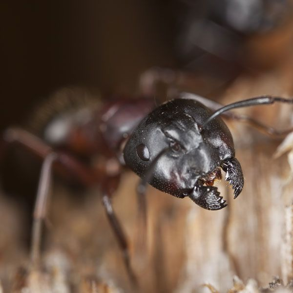 Carpenter ants damage homes by tunneling and nesting inside wood structures. Here how to get rid of carpenter ants without using harmful chemicals.