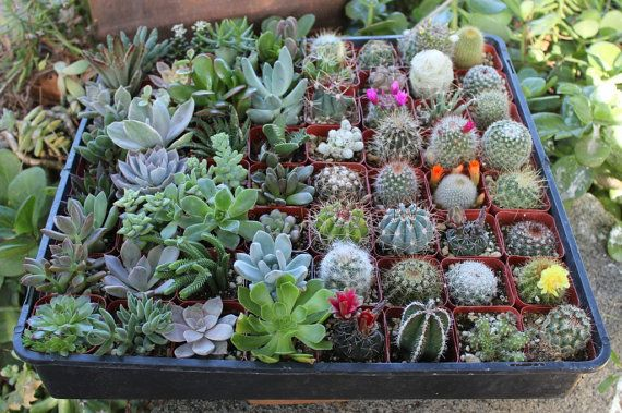 40 Succulent & Cactus Collection great for by SANPEDROCACTUS, $50.00