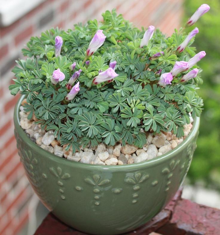17 best images about plants indoor on pinterest purple shamrock jade and terrarium plants - Shamrock indoor plant ...