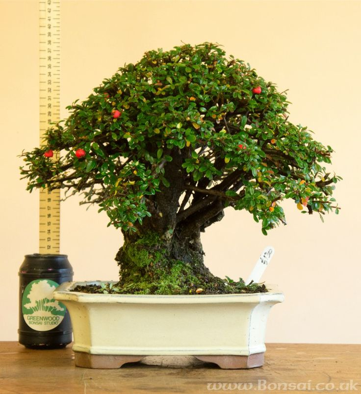 die besten 25 cotoneaster bonsai ideen auf pinterest japanischer ahorn bonsai bonsai baum. Black Bedroom Furniture Sets. Home Design Ideas