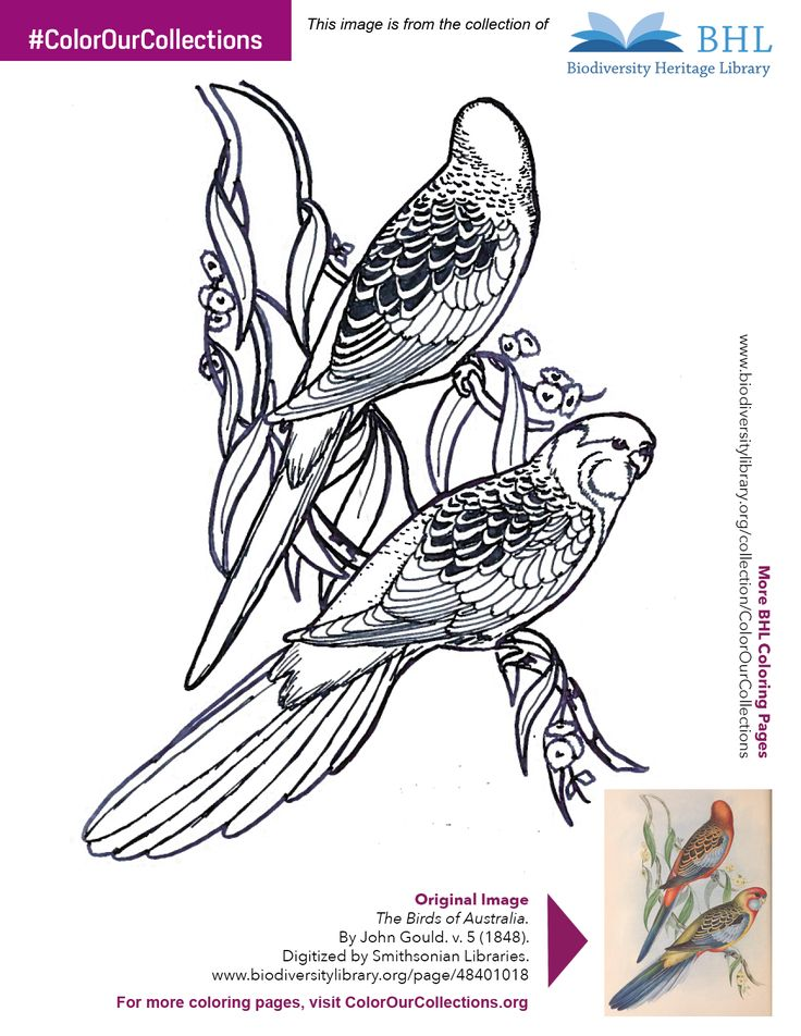 """#ColorOurCollections. Original Image: http://www.biodiversitylibrary.org/page/48401018. To download this image, right click on the pin and choose """"save image as"""" to save the image to your computer. You can then print and color at your leisure!"""