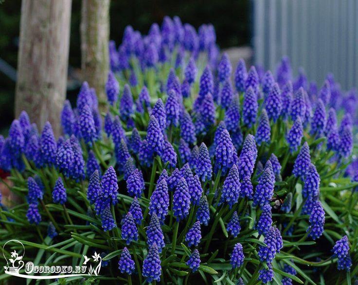 Мускари (другое название – виноградный гиацинт, «гадючий лук») - многолетнее растение с мелкими луковичками, родственник гиацинта.    ● Такое растение может вырасти в высоту на 30 см. Его цветки имеют яркую окраску и часто используются во флористике для составления свадебных букетов. Садоводы же выращивают мускари как в горшках в домашних условиях, так и у себя на приусадебном участке, размещая их на альпийских горках или бордюре.    Мускари: посадка и уход  ● Растение весьма неприхотливо…