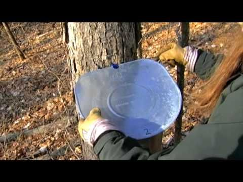 For great outdoor family winter fun, learn how to make maple syrup and sugar from your maple trees.  Let MDC show you how to make this tasty treat in your own yard.