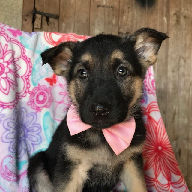 German Shepherd Dog Puppy For Sale In Quarryville Pa Adn 58721