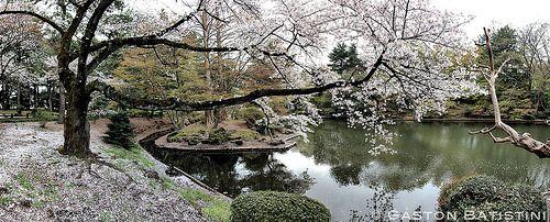 Cherry blossom ( Sakura ), 桜 / 櫻 , Shinjuku Gyoen national Garden 新宿御苑  Tokyo 東京 Japan, 日本