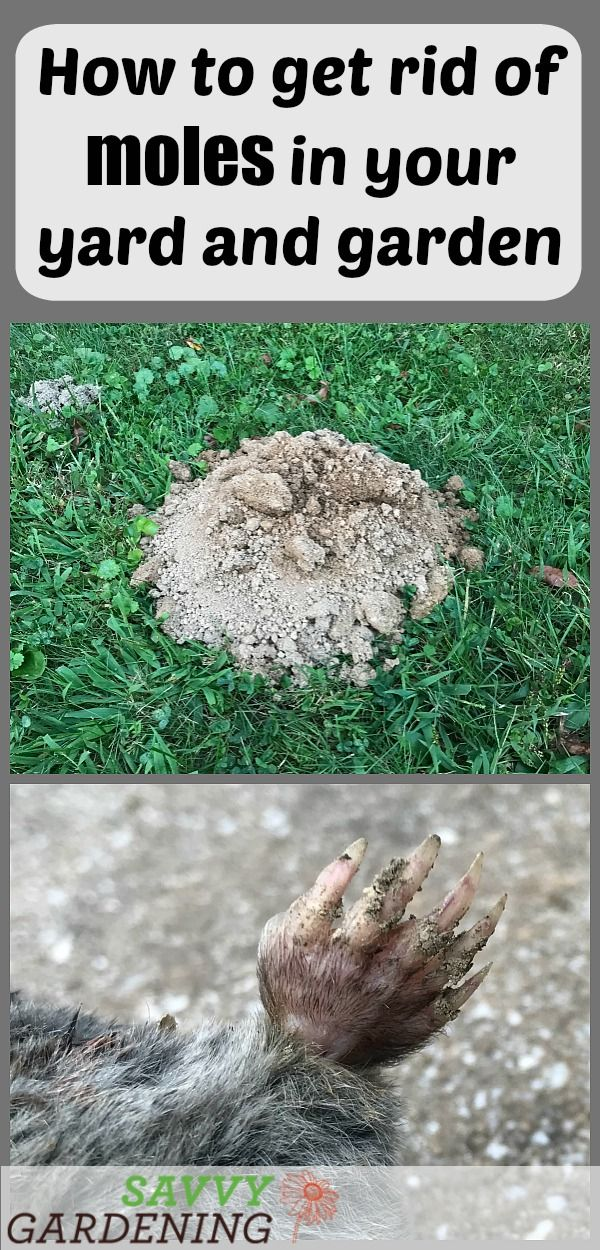 Lawn Grub Worm Control 10 Ways To Get Rid Of Grub Worms Lawn Pests Grub Worms Garden Insects