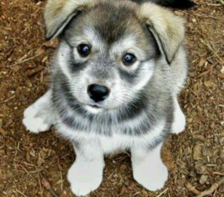 Is my purebred husky part wolf?