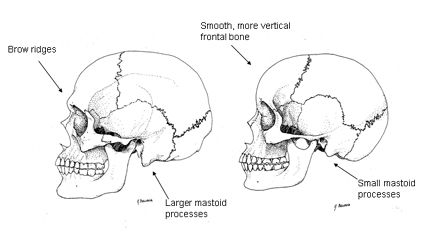 Male (left) and female (right) skulls (Anthropology)