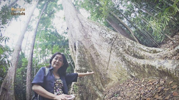 15 个人才能环抱的千年老树!!!  游走大马 - Hutan Lipur Sungai Bantang 更多内容请浏览 : http://www.multiplechannels.biz/hutan-lipur-sungai-bantang/