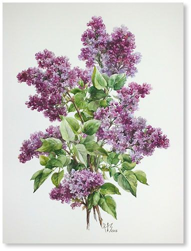 """Lilac from our garden  watercolor 15.7""""x11.8"""", 2015; 200$"""