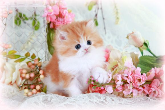 Red and White Teacup Persian Kitten