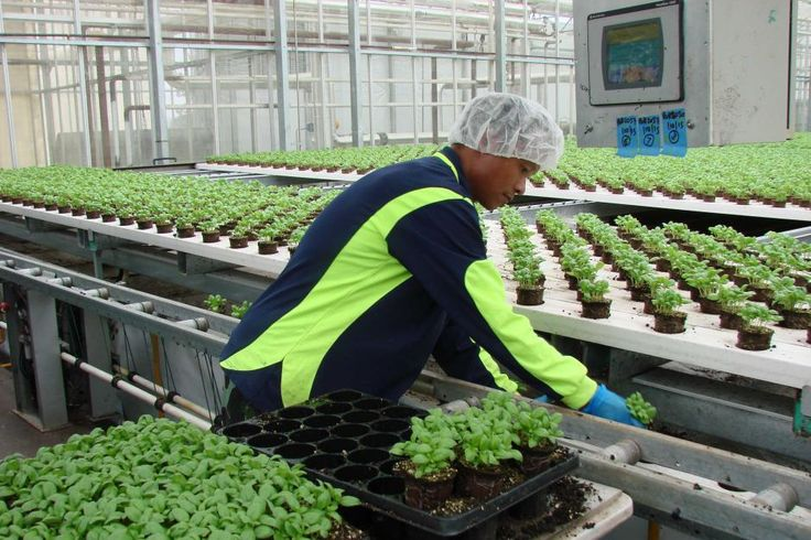 Worker in greenhouse sets basil seedlings on conveyer belts at Cobbity near Sydney