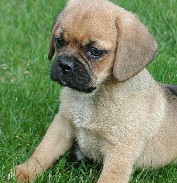 die besten 25 pug beagle mix ideen auf pinterest puggle welpen hundearten und mops mischling. Black Bedroom Furniture Sets. Home Design Ideas