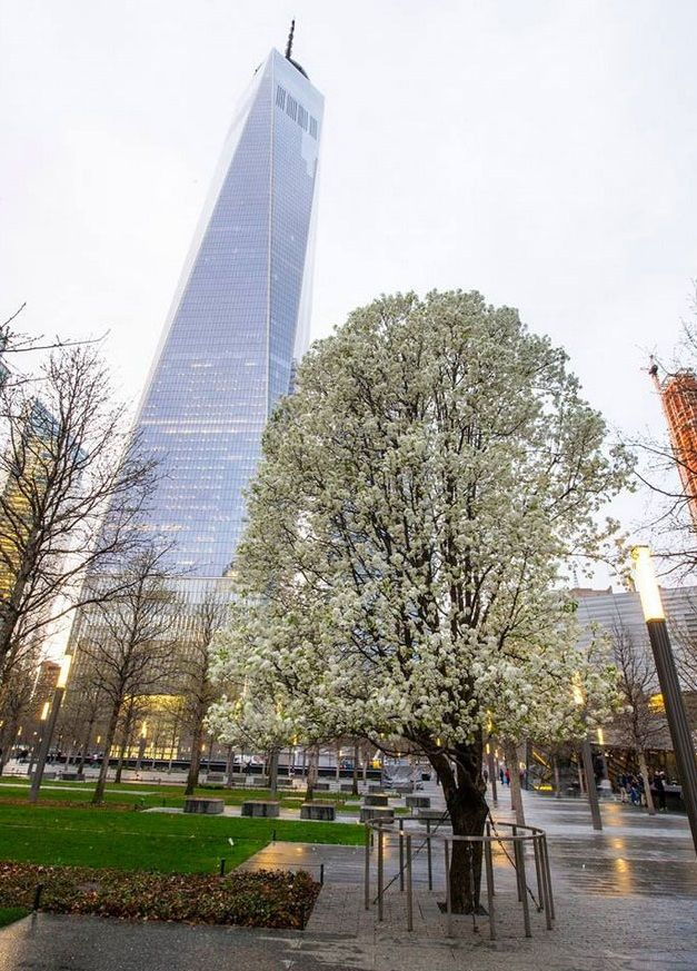 After 9/11, one of the trees planted in WTC plaza was rescued from smoldering rubble (it was mostly just a charred trunk); it was nursed back to health and planted back at the new World Trade Center