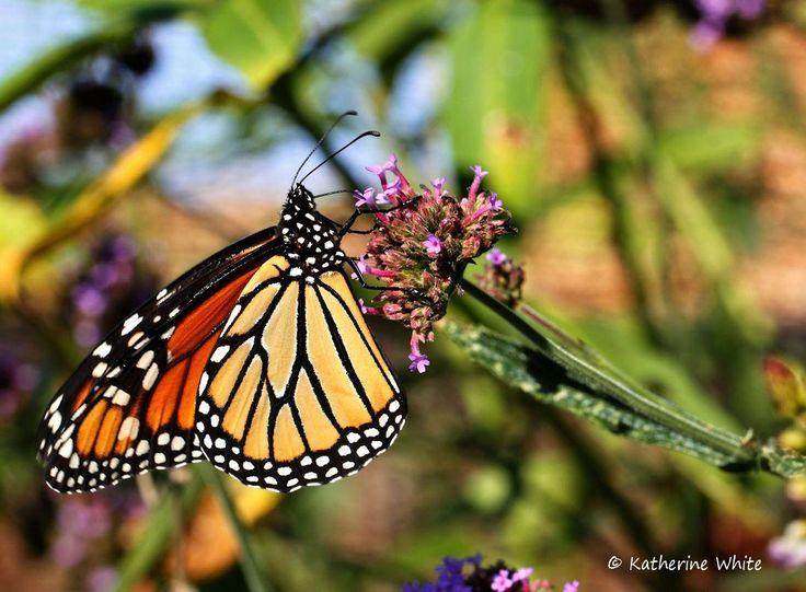 Monarch butterfly enjoying breakfast., by Katherine White