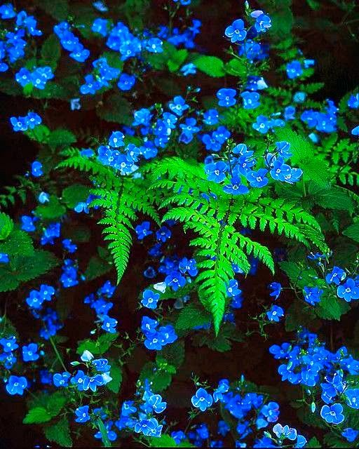 Blue Wildflowers.. Blue veronica with ferns. Gorgeous for the shade garden!