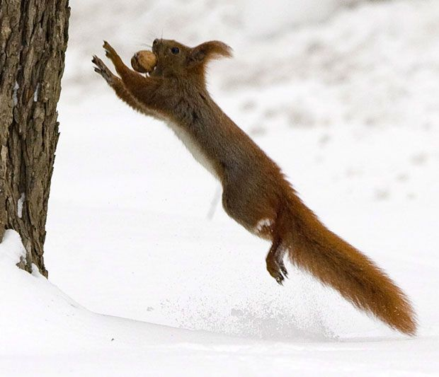 A squirrel holds a nut between its teeth while jumping onto a tree at the Lazienki Park in Warsaw, Poland...quite a sprint!